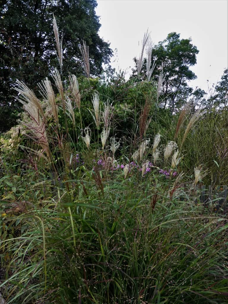 Üppig wachsendes Miscanthus Sinensis