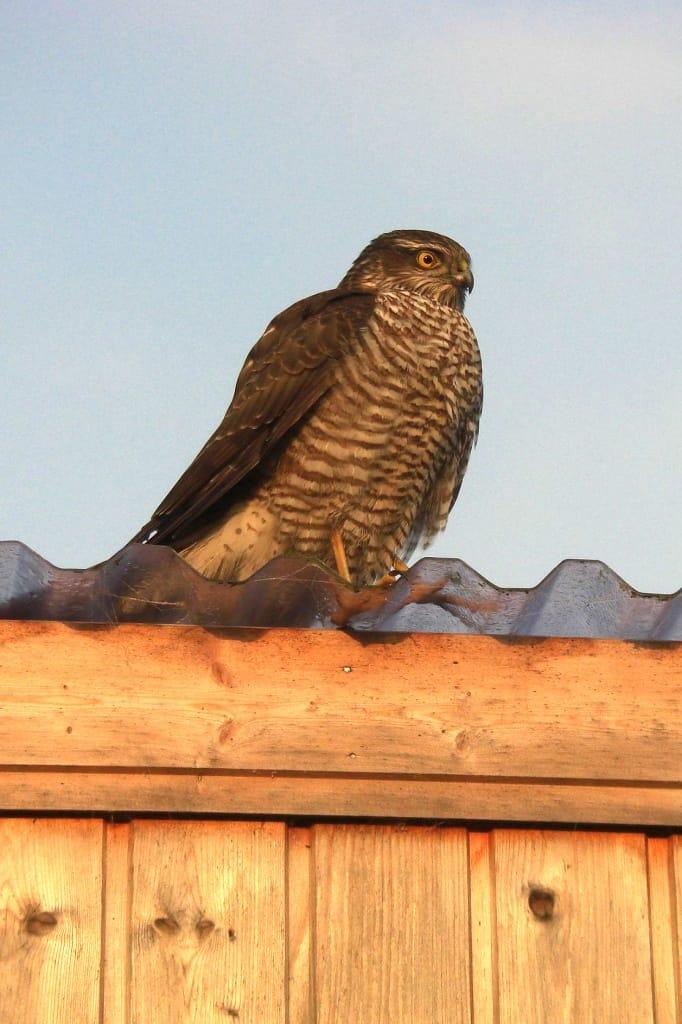 Ein stattlicher Sperber auf einem Dach
