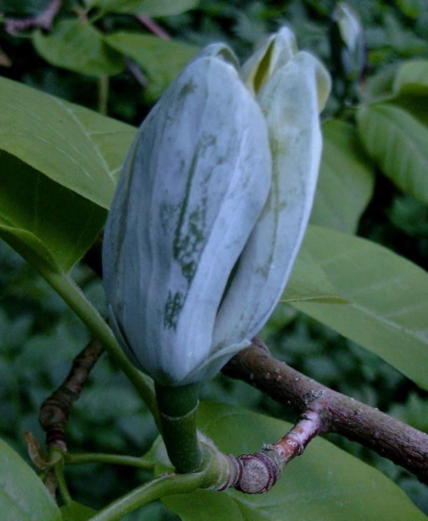 Blüte am Tulpenbaum