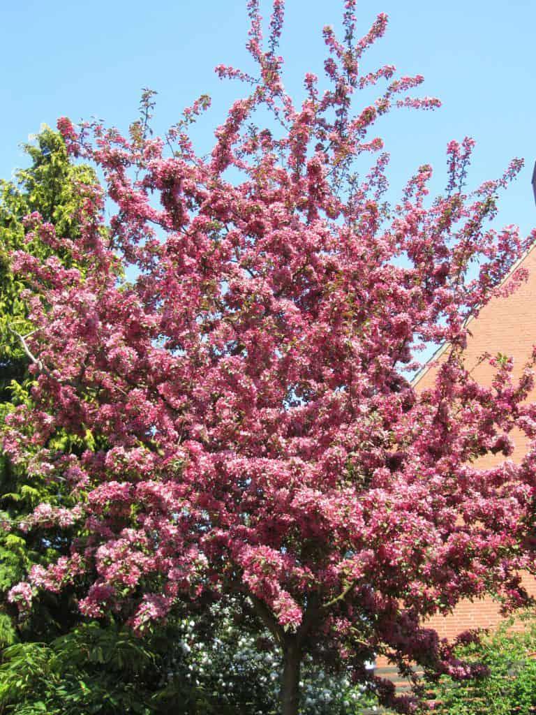 Blühender Zierapfel