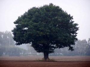Der Ahornbaum