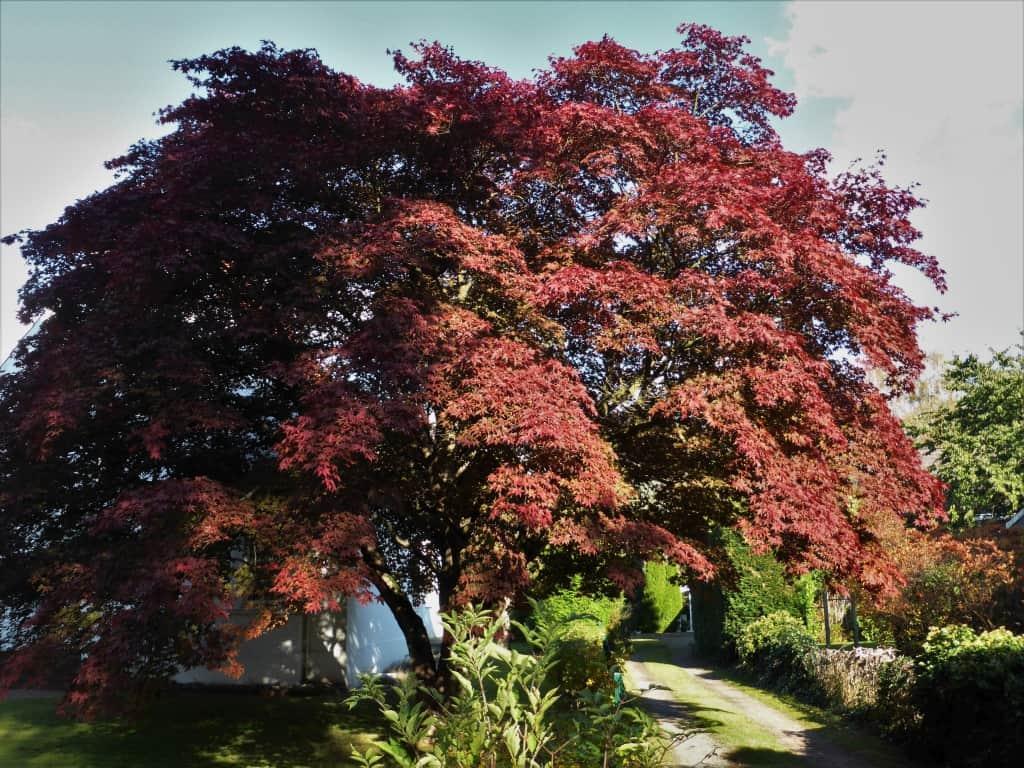Ein Fächerahorn-Baum