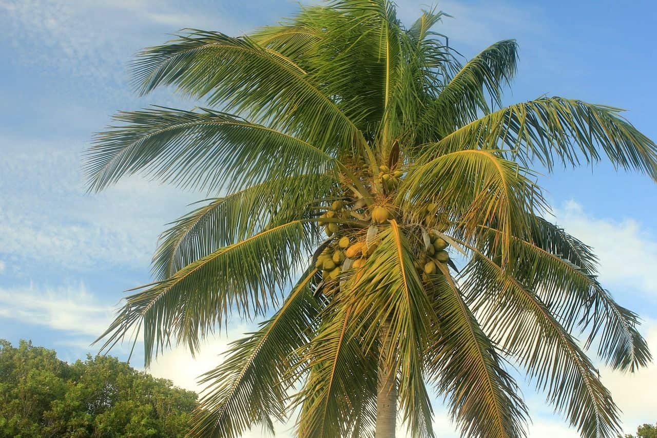 Die Kokospalme – ein tropisches Gewächs