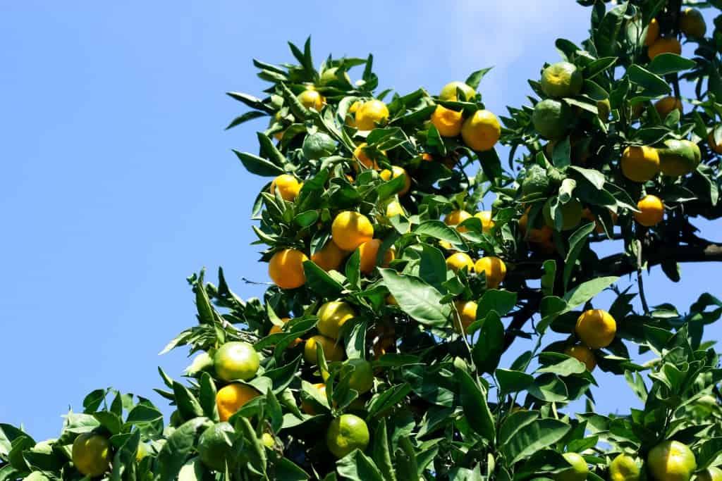 Ein Mandarinenbaum