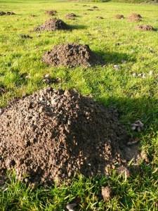 Rasen und Beete vor dem Maulwurf retten