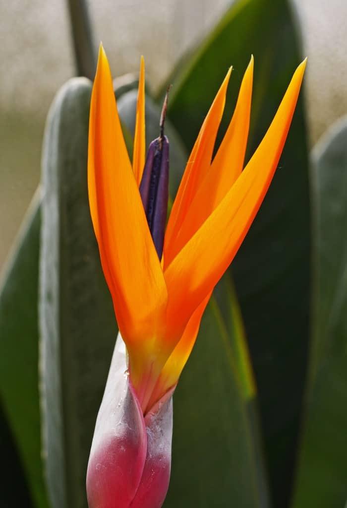 Eine orangefarbene Paradiesvogelblume