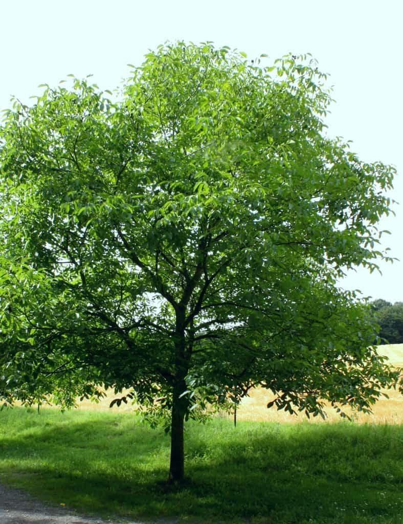 Ein gut gewachsener Walnussbaum