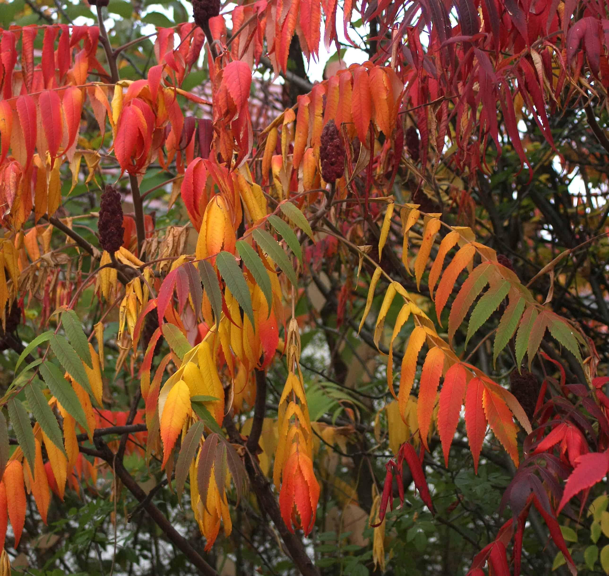 Ein rot gefärbter Essigbaum