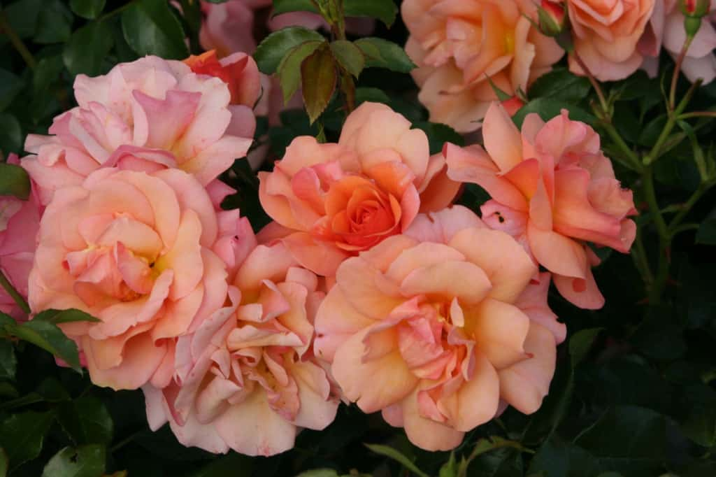 Blühende Rosen Aprikola