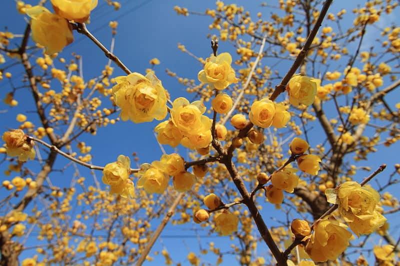 Die gelbe Chinesische Winterblüte