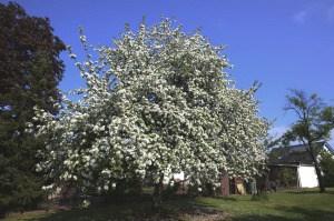 Den Apfelbaum richtig düngen