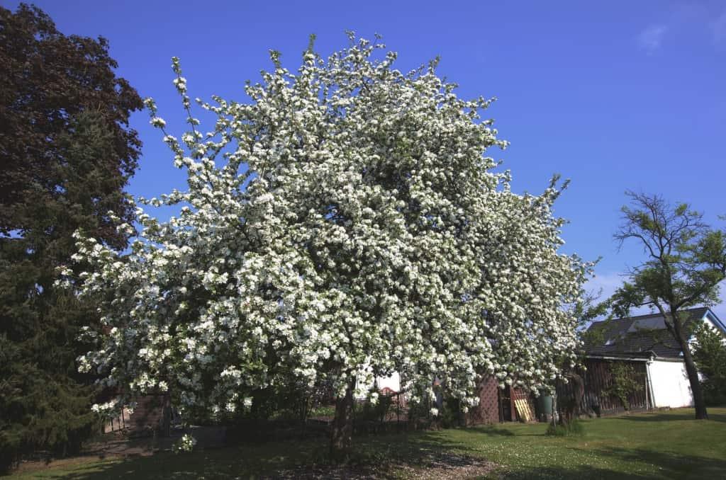 Ein weiß blühender Apfelbaum