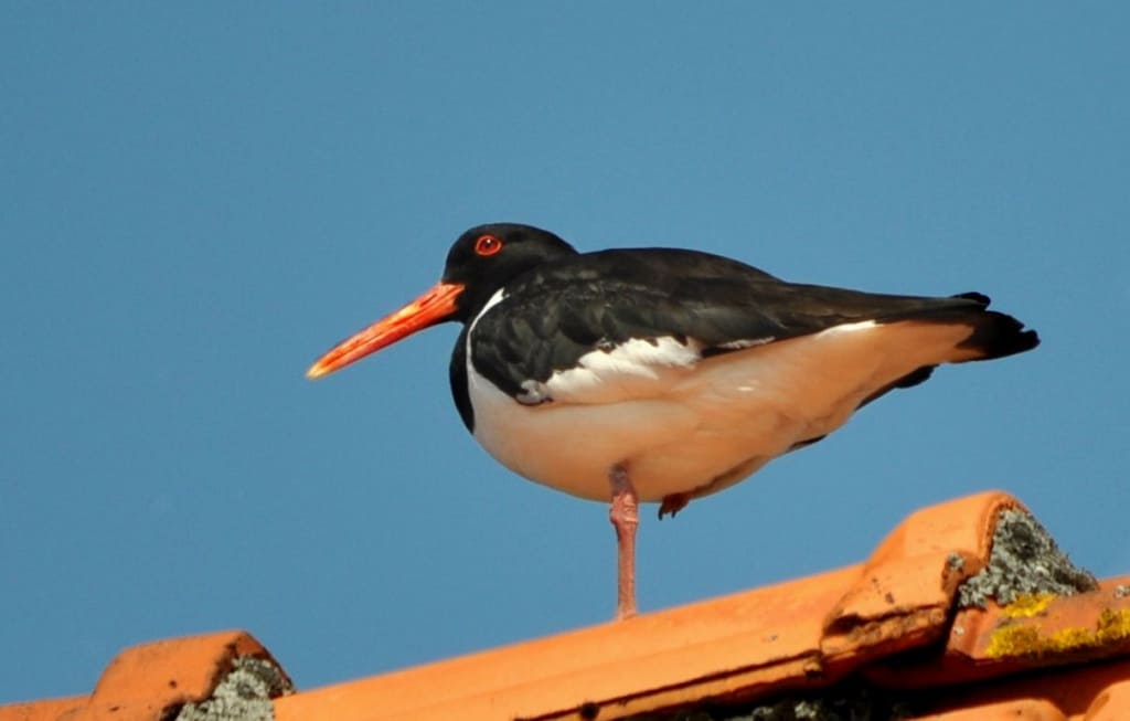 Ein Austernfischer steht auf einem Dach