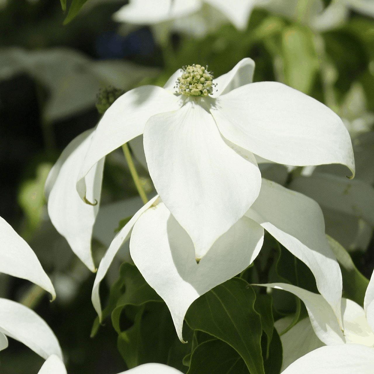 Weiße Hartriegelblüten