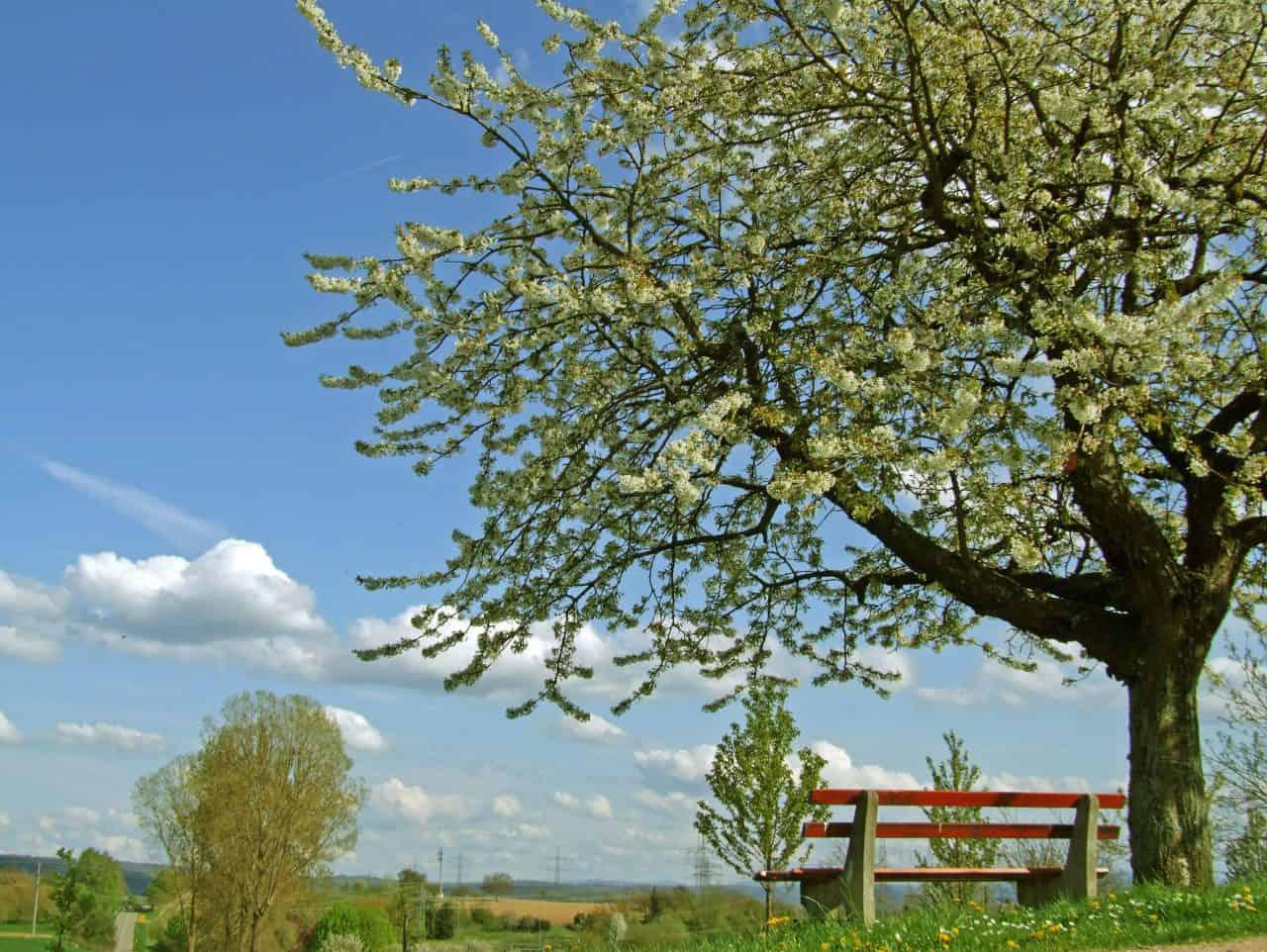 Ein blühender Kirschbaum