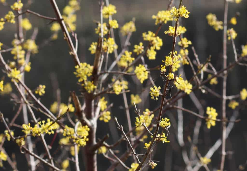 Blühende Kornelkirsche