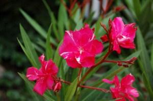 Oleander richtig gießen