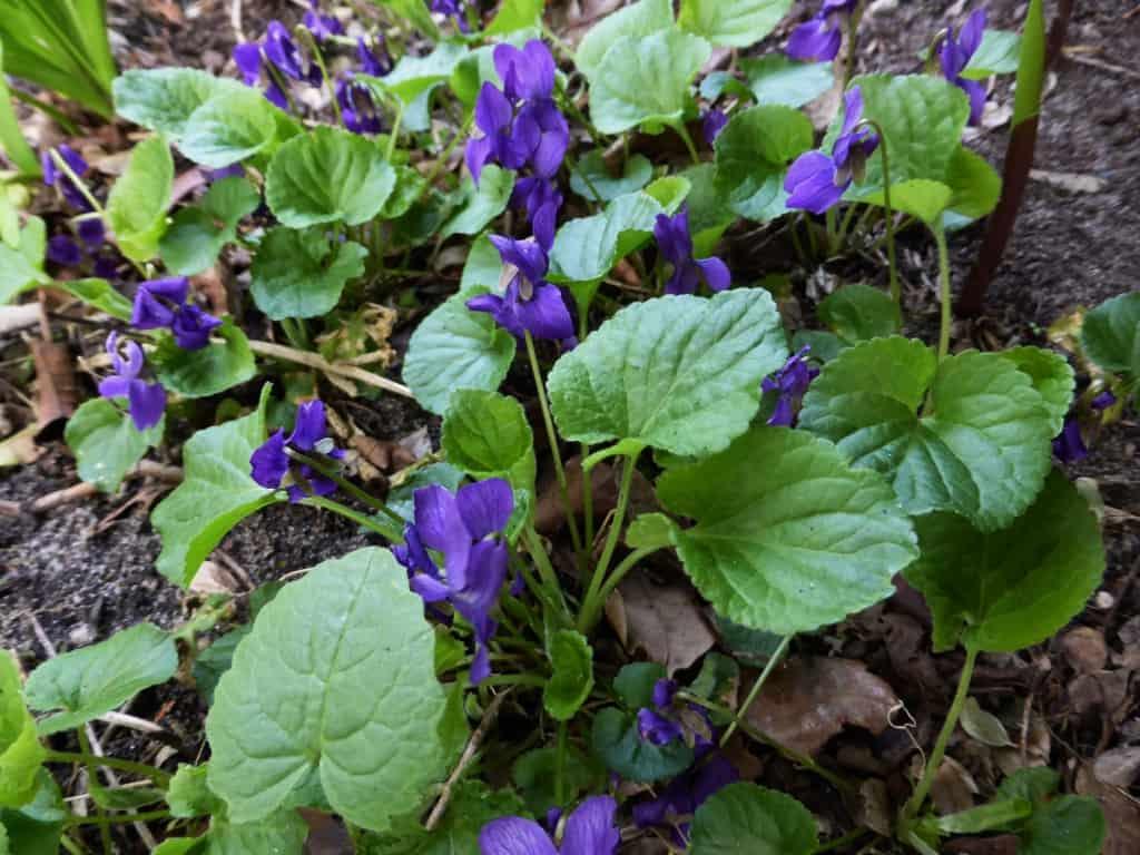 Blau blühende Veilchen