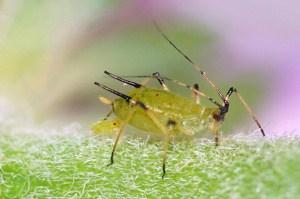 Blattläuse auf natürliche Art bekämpfen