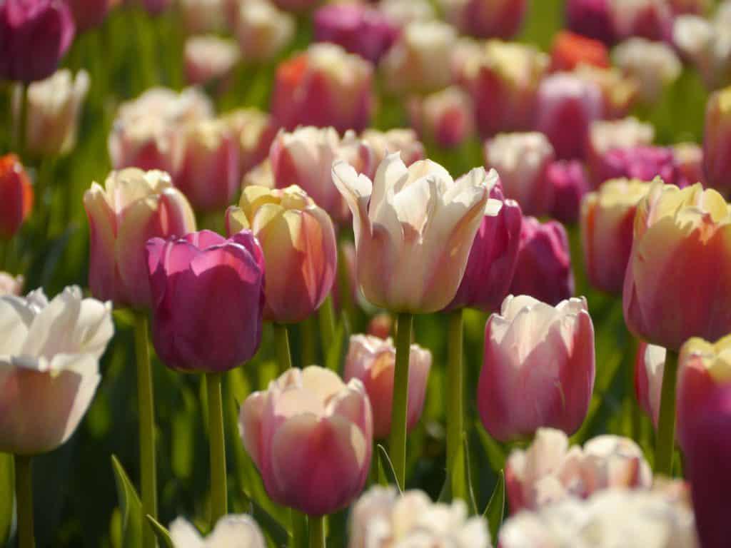 Tulpen im Beet