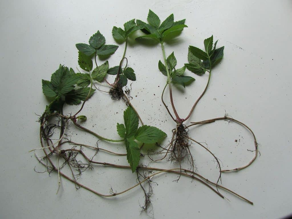 Giersch mit Blättern und Wurzeln