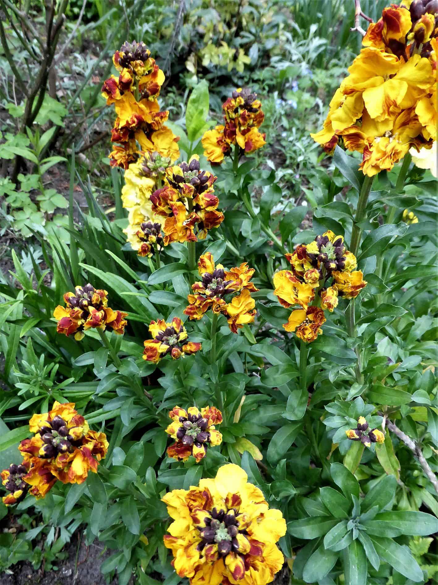 Goldlack – vergessene Sehnsuchtsblume aus Großmutters Gartenbeet