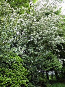 Weißdorn – eine vielseitige Pflanze