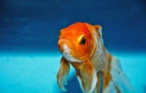 Die beliebtesten Fische für den Gartenteich