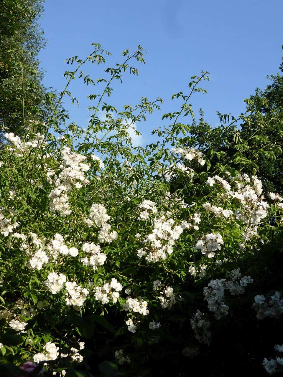 Sommerschnitt für Rosen