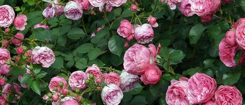 Ein rosafarbener Rosenstrauch