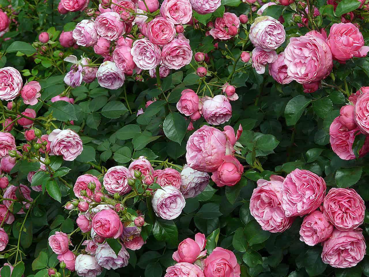 Vom Boden bis zur Blüte: Tipps für gesunde und schöne Rosen
