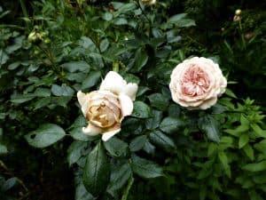 Rosenpflege rund ums Jahr