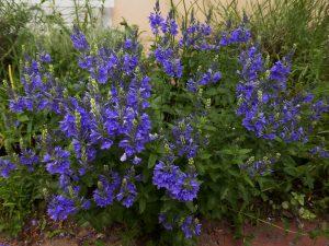 Veronica – Zierpflanze mit Heilwirkung