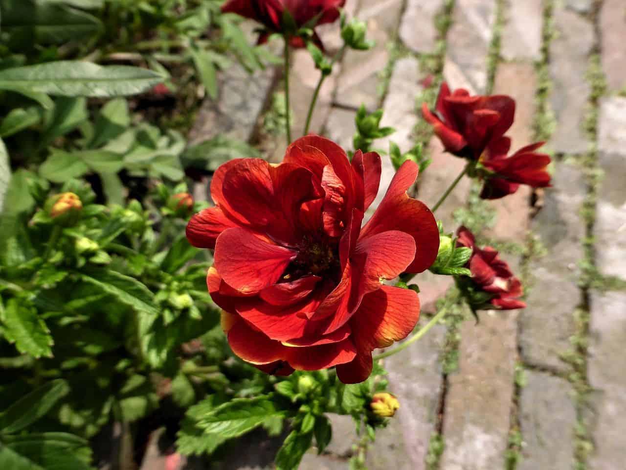 Potentilla – Zierpflanze und Heilkraut