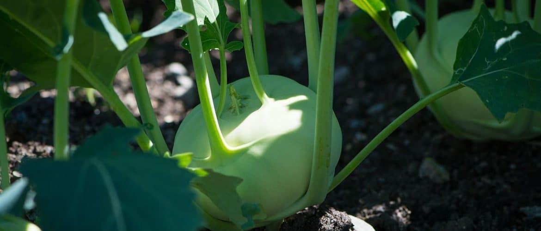 Kohlrabi-Pflanze