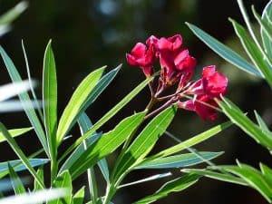 Die häufigsten Krankheiten beim Oleander