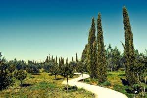 Die Zypresse – ein Pflanzenportrait