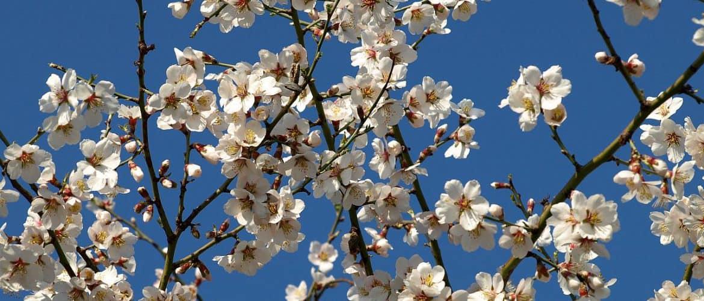Ein blühender Marillenbaum