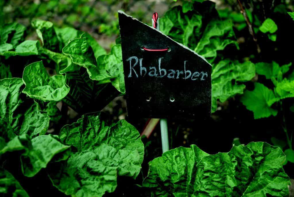 Rhabarberpflanzen mit Pflanzschild