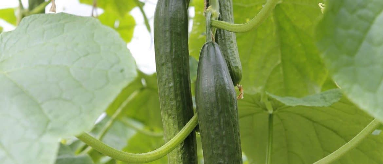 Salatgurken mit Pflanze
