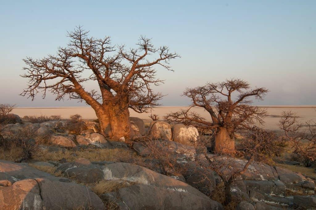 Ein Affenbrotbaum in der Savanne