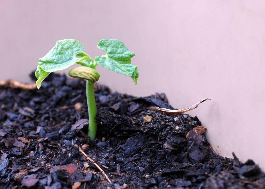 Eine keimende Bohnenpflanze