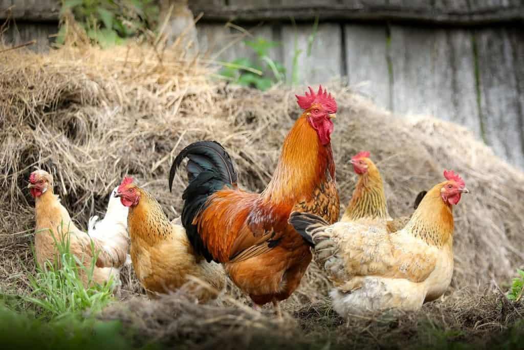Hühner vor einem Misthaufen