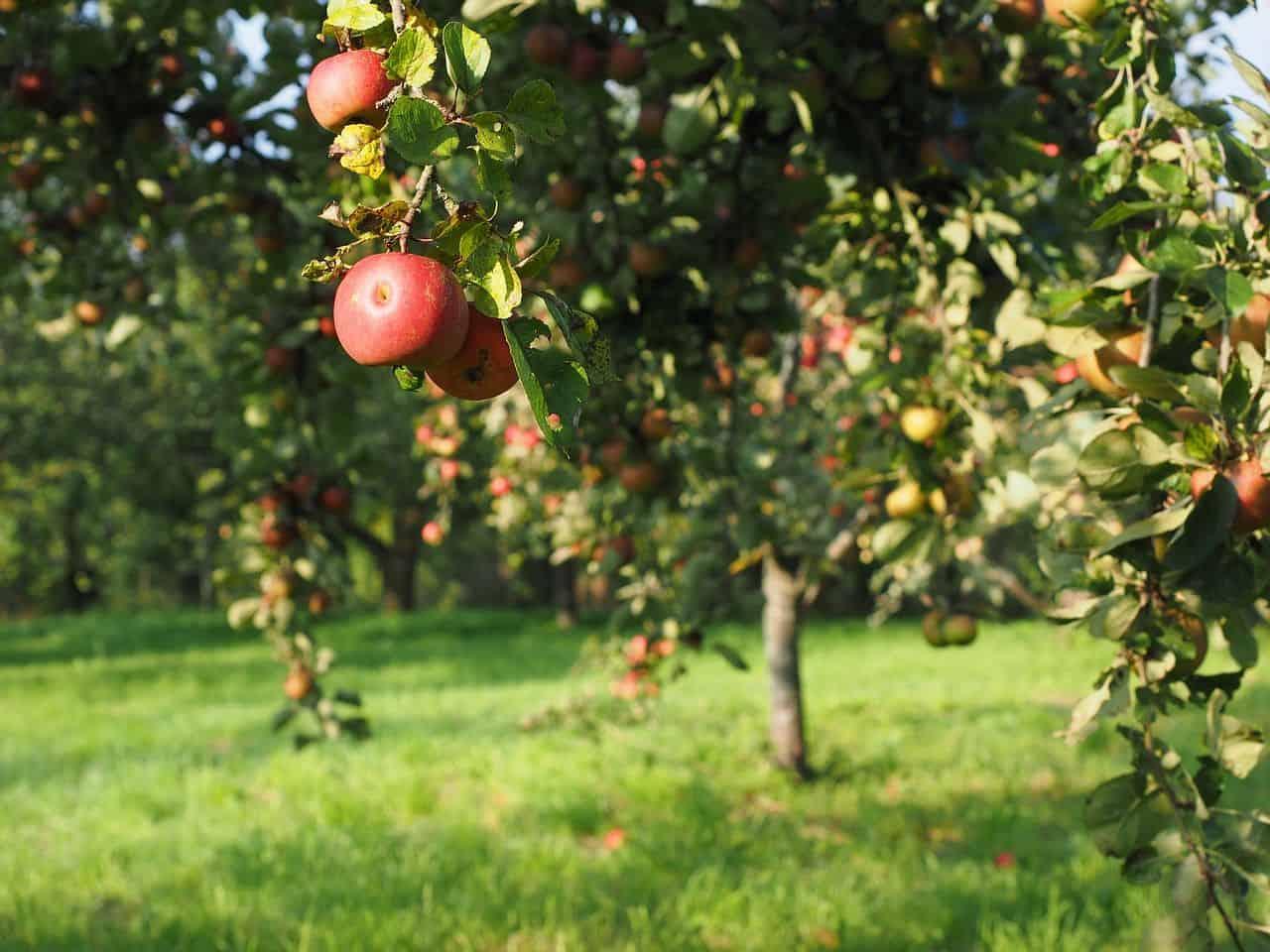 Äpfel tragende Bäumchen