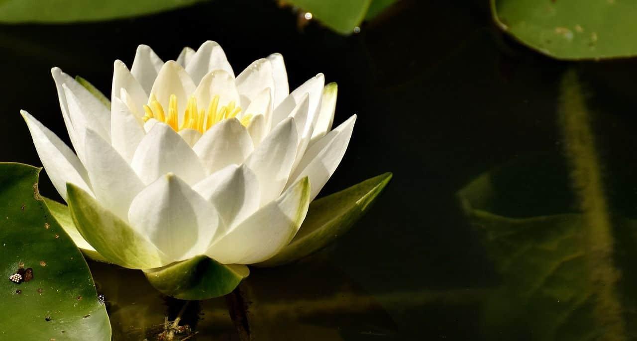 Die Seerose – Pflanzung und Pflege