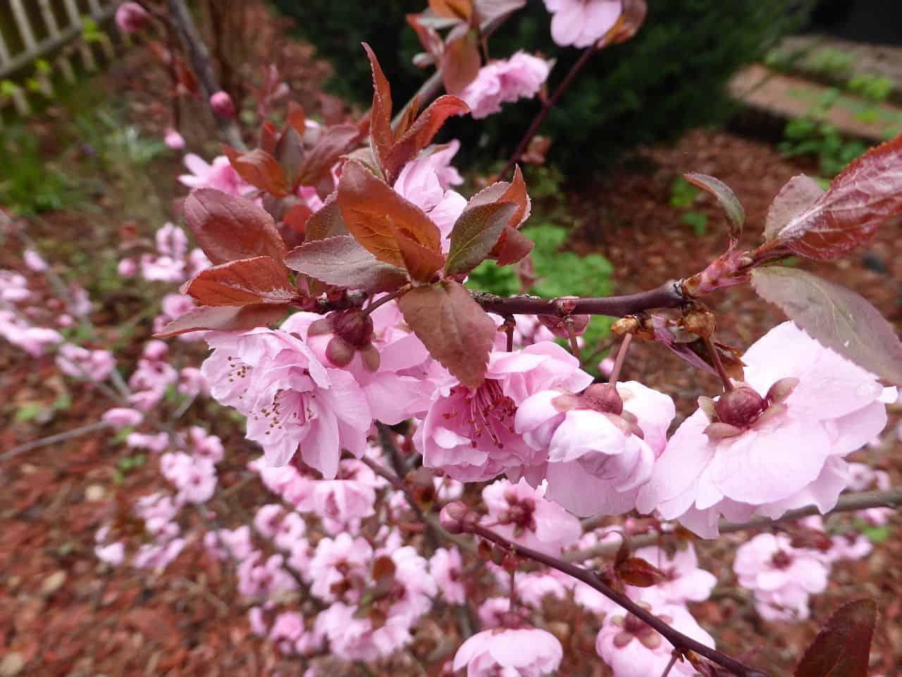 Mandeln als Zier- und Nutzpflanzen – Anpflanzung und Pflege
