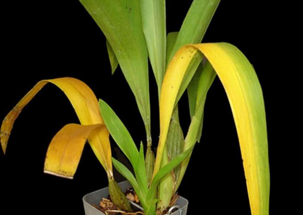 Eine Zimmerpflanze mit gelb verfärbten Blättern und braunen Spitzen