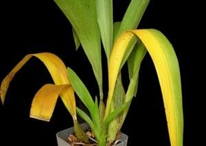 Gelb verfärbte Blätter und braune Spitzen bei Zimmerpflanzen bekämpfen
