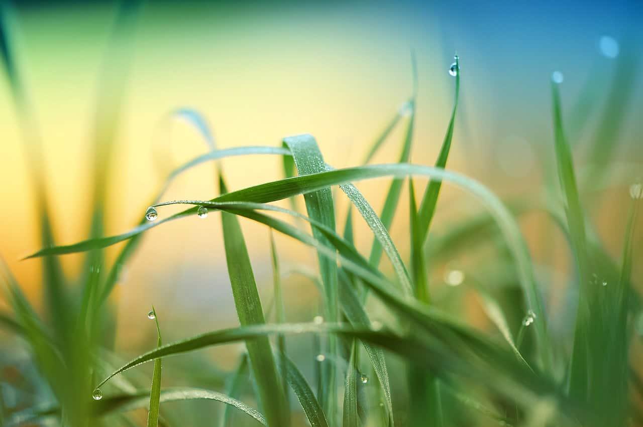 Den Rasen richtig düngen