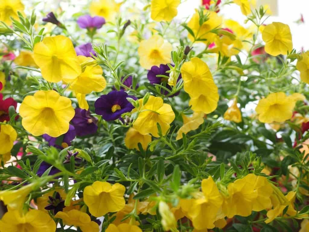 Calibrachoa mit trompetenförmigen Blüten